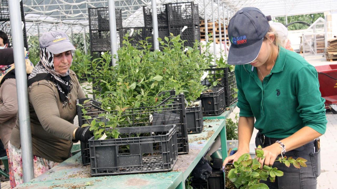 Safir Berry AŞ. blueberry meyvesinin hasadını 8 aya çıkaracak